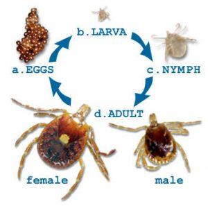 tick life cycle dallas lawn service plano lawn service garland lawn service