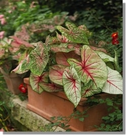 Caladium Plano Garland Dallas Lawn Care Maintenance Plano Garland Dalla lawn company