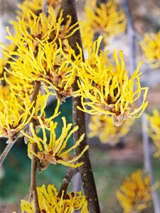 witch hazel lawn mowing plano lawn mowing garland mowing plano