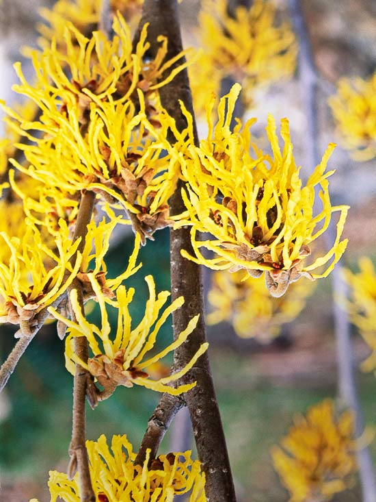 Best flowers to grow during the fall gomow witch hazel lawn mowing plano lawn mowing garland mowing plano mightylinksfo Gallery
